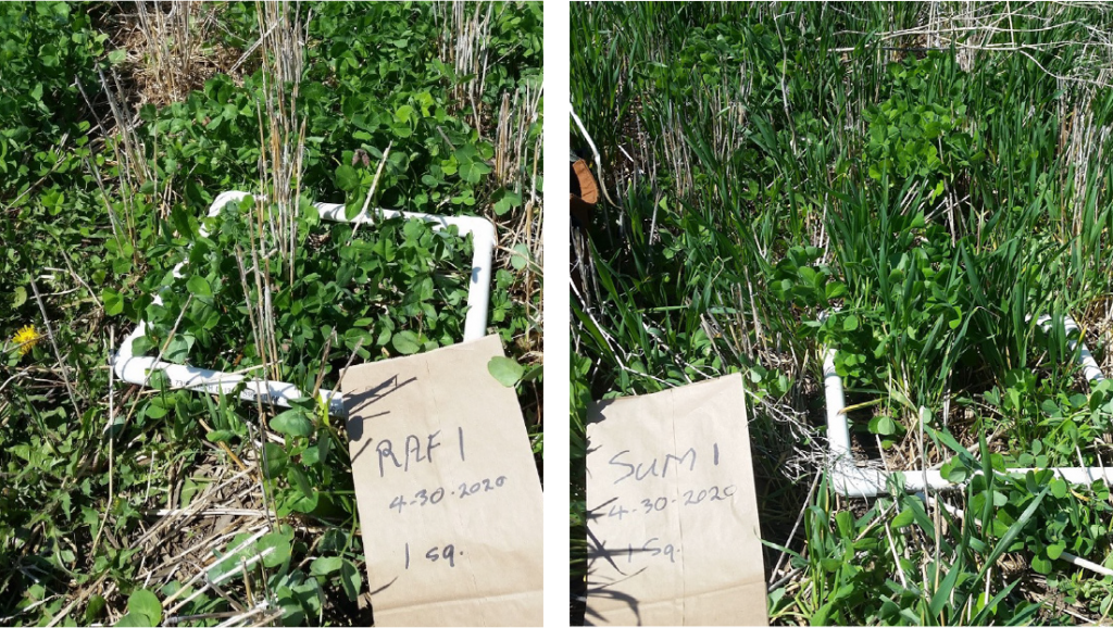 Green Manure Cover Crop Seeding and Termination Dates in Wheat Corn Rotation Photo
