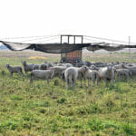 Sheep at Wendy Johnson's Joia Food Farm Sept. 23, 2020