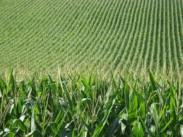 corn field image