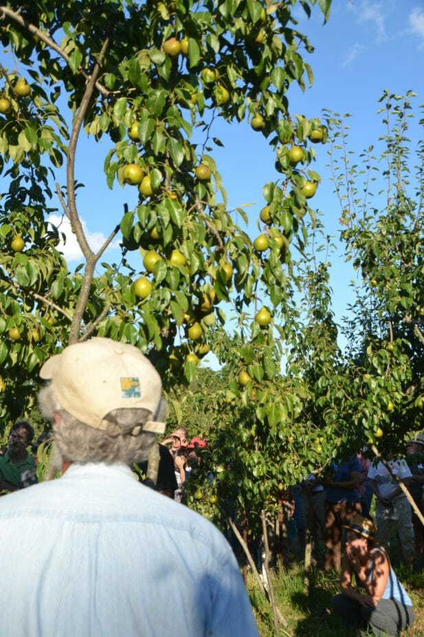 The fruit set on this Gourmet was pruned back 50%, but still has a plentiful crop.