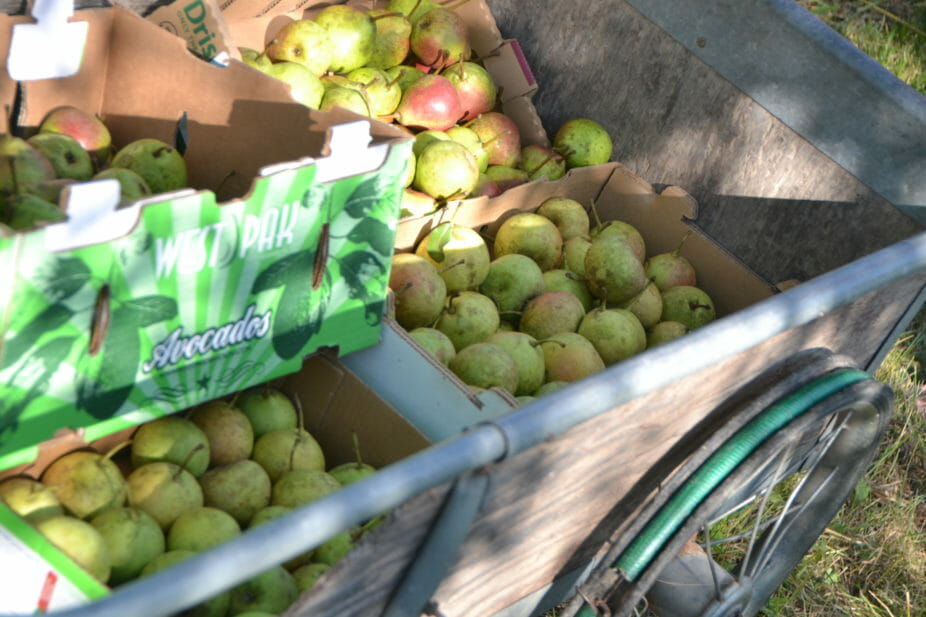 """""""Pears absolutely do not ripen on the tree. Pears need to be picked when they are mature, and eaten when they are ripe. When we're growing relatively obscure varieties of pears, there's no source to tell you when they're mature."""""""