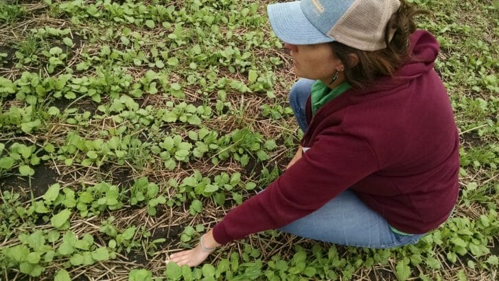 PFI staffer Meghan Filbert examines the cover crop mix at the Frederick farm on Aug. 20, 2015. The mix includes turnips, forage kale, oats and soybeans.