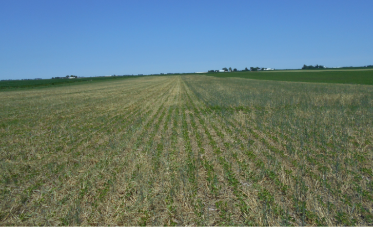 """Mowed portion of the soybean field on the left. After mowing the entire field, Billy observed, """"It really does look good now...kinda thinned out the stand a bit with the tractor wheels, but I suppose that's part of the reason for a higher population in the beginning. Weed pressure is nil and we will watch closely."""""""