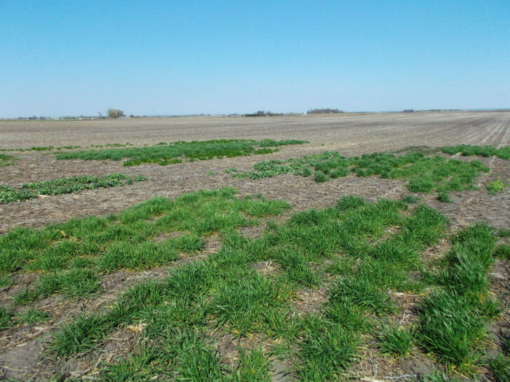Cover crop variety trial plots at Jeremy Gustafson's farm in Boone County. From right to left, plots in the foreground depict winter wheat, winter triticale, winter barley and rapeseed. Photo taken Apr. 14, 2016.