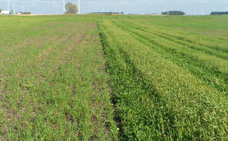 Mid-summer-seeded cover crop mix (on left) and the underseeded red clover (on right) a few months after an oat harvest at Doug Alert and Margaret Smith's farm on Oct. 14, 2016.
