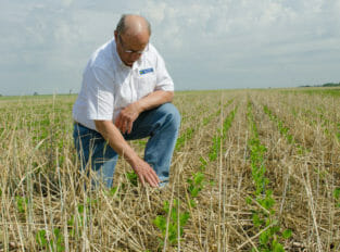 A man in a white shirt with a Iowa Soybean Association Logo kneels in a field with brown dry stalks of cereal rye with bright green rows of 5 inch tall soybeans growing up through it.