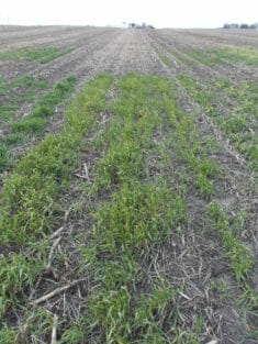A patchy growth of 6 inch tall winter wheat grows in a field in early spring